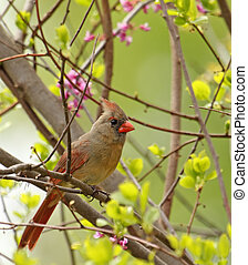 Female Northern Cardinal, Cardinalis cardinalis - Female...
