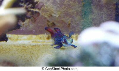 Mandarin fish in coral reef