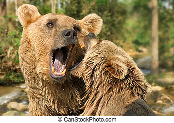 Two bears fighting in their habitat - Closeup of two grizzly...