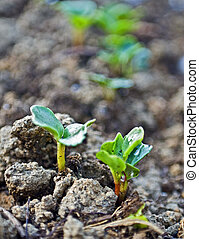 New Plants - Small plants breaking through the soil in a...