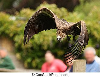 Griffon Vulture - Portrait of a Griffon Vulture in flight...