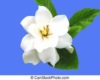 Gardenia, flor