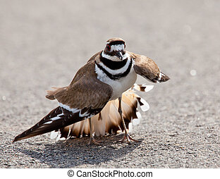 Killdeer bird warding off danger - Killdeer birds lay their...