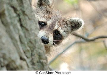 Raccoon - Head shot of a young raccoon peeking around a tree...