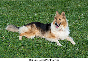 Collie resting - collie lying at rest on the grass