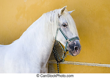 A white Andalucian stallion horse