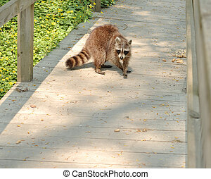 Raccoon - A young raccoon looking unto a nature trail...