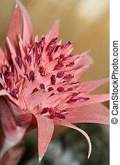 Aechmea - Closeup of an Aechmea flower