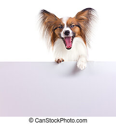 Papillon Dog - Dog of breed papillon isolated on a white...