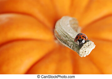 lady bug on a pumpkin stem - closeup lady bug on a pumpkin...
