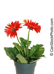 Potted red Gerbera daisy