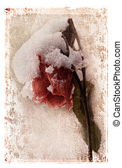 Snow Covered Rose - Wilting snow covered rose digitally...