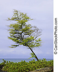 hawaiian kiawe mesquite tree by the ocean