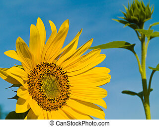 Yellow Sunflower closeup against a blue cloudless sky.