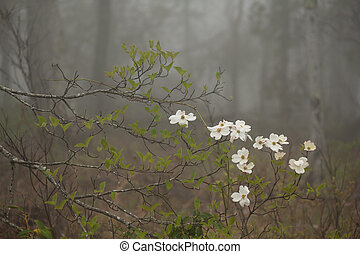 Foggy Dogwood - A blooming dogwood branch in springtime fog