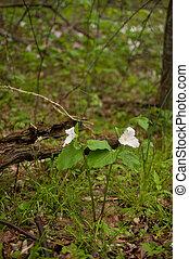 Wild white Trillium