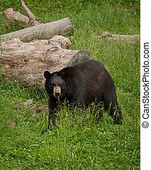 Standing black bear - Large North American black bear...
