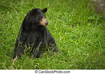 American Black Bear - Large North American black bear...