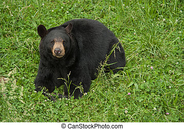 Wild Black Bear - Large North American black bear sitting in...