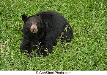 dziki, czarnoskóry, Niedźwiedź
