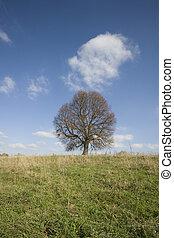 Lone mighty oak.