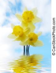 Flooded daffodils