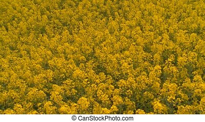 rape oilseed