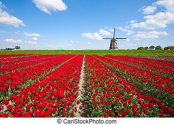 Tulips and windmill - Windmill with red tulip field in the...