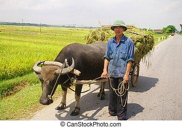 Vietnamese peasant returning harves - Vietnamese peasant on...