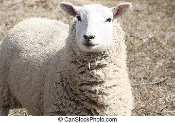Sheep (Ewe) - Ewe in a field of brown grasses in early...