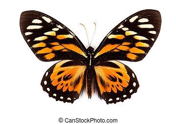 Balck and orange butterfly Papilio zagreus isolated on white...