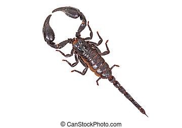 pretas, escorpião, Heterometrus, laoticus, isolado