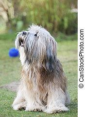 Tibetan Terrier - Tibetan terrier sitting in the grass