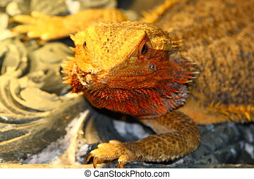bearded lizard, Pogona vitticeps,
