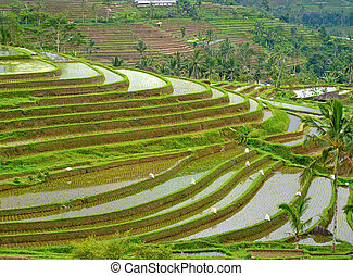 Rice filed - Rice fields, prepared for rice. Bali, Indonesia