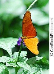 Dryas julia butterfly - Orange Dryas julia butterfly on a...
