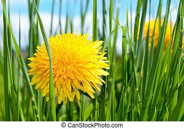 primavera, flor, capim