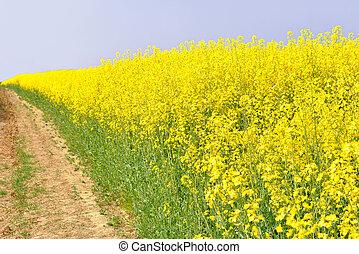 Oilseed field - Field of oil seed rape plants