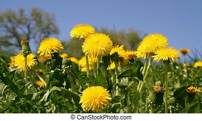 dandelions in meadow