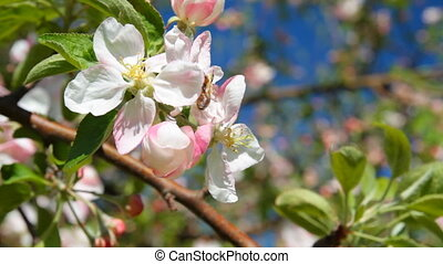 apple tree blossom, bee