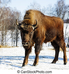 wild bison - Young wild bisons in the winter forest