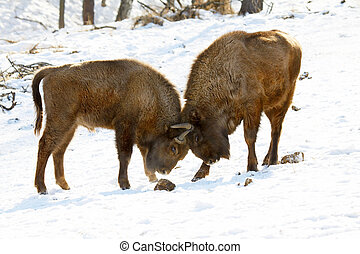bison battle - two bisons butt each other in winter forest