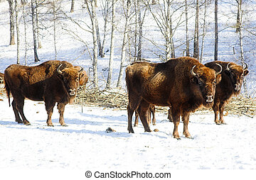 wild bisons - three wild bisons in the winter forest