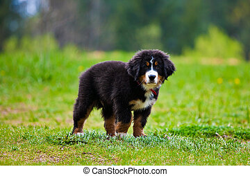 Bernese Mountain Dog - Bernese mountain dog happily standing...