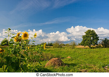 Summer landscape with sunflowers and beautiful clouds