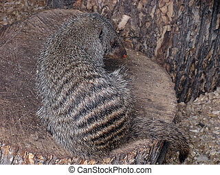 mongoose sitting on a log