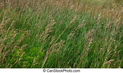 Prairie grass - Feather grass, the wind in the hills