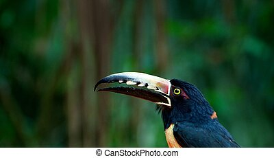 Collared Aracari (Pteroglossus torquatus), Close-Up, Cayo...