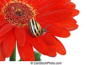 Snail on a red daisy