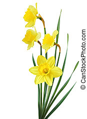 Yellow Daffodil - Bouquet of yellow daffodil flowers...